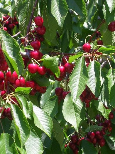 extrait de cerise, cherry aromatic extract