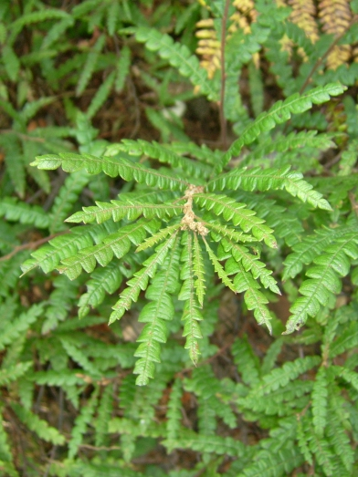 comptonie voyageuse biologique, organic sweet fern