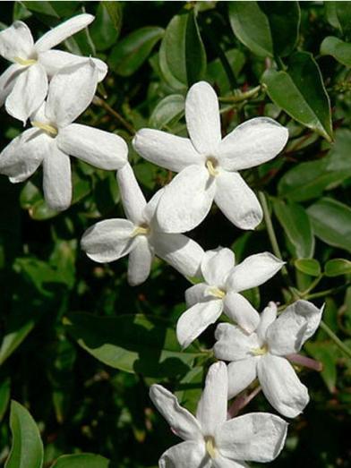 jasmin biologique, organic jasmin