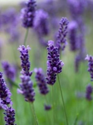 lavande lavender