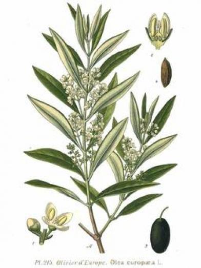 Olivier olive tree