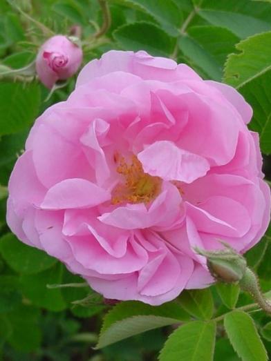 rose de Damas, Damascus rose