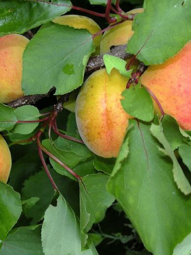 Abricot, apricot