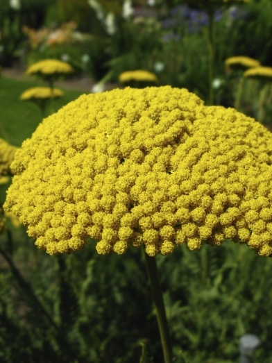 Achillée jaune, yellow yarrow