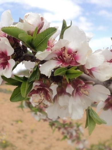 Amande amère bio, organic bitter almond