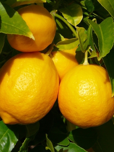 Citron jaune, yellow lemon