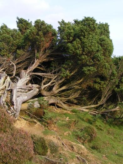 genévrier commun, common juniper