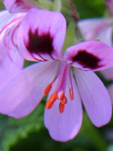 geranium bourbon