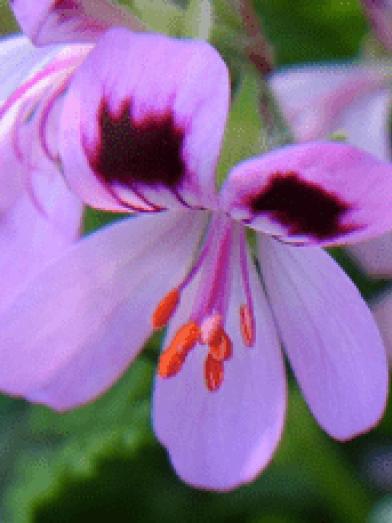 Geranium Rosat, geranium rose