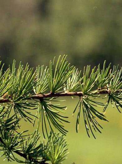 Meleze huile essentielle - larch essential oil - Larix laricina